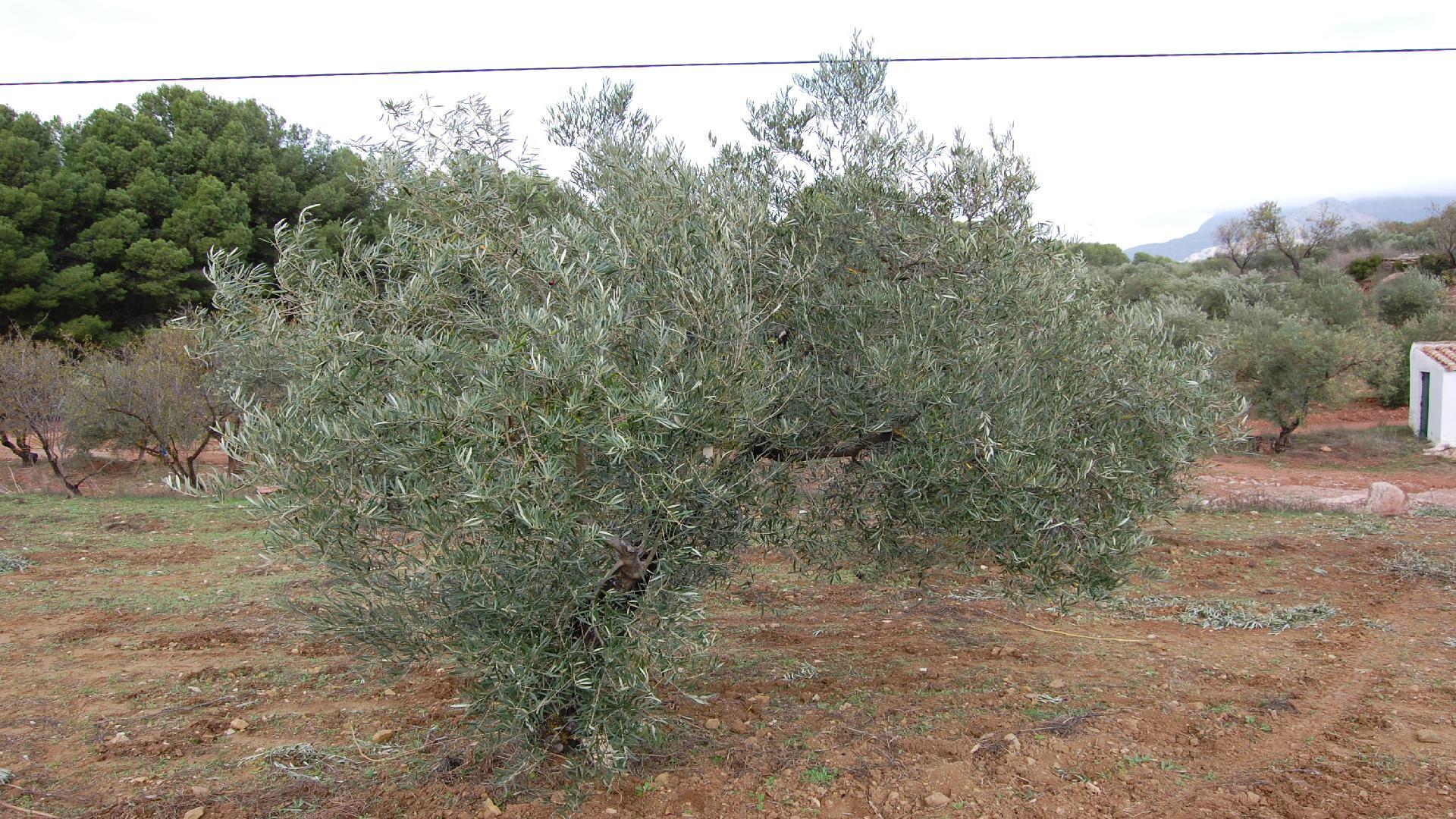 Adopteer een olijfboom! www.olivarera.eu